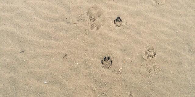 Hondepootjes in het zand